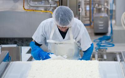 When the curd is ready, the whey is drawn out of the curd as it drips on the conveyor,